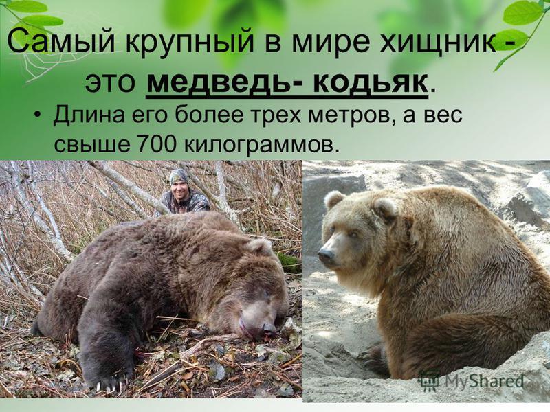 Самый крупный в мире хищник - это медведь- кодьяк. Длина его более трех метров, а вес свыше 700 килограммов.