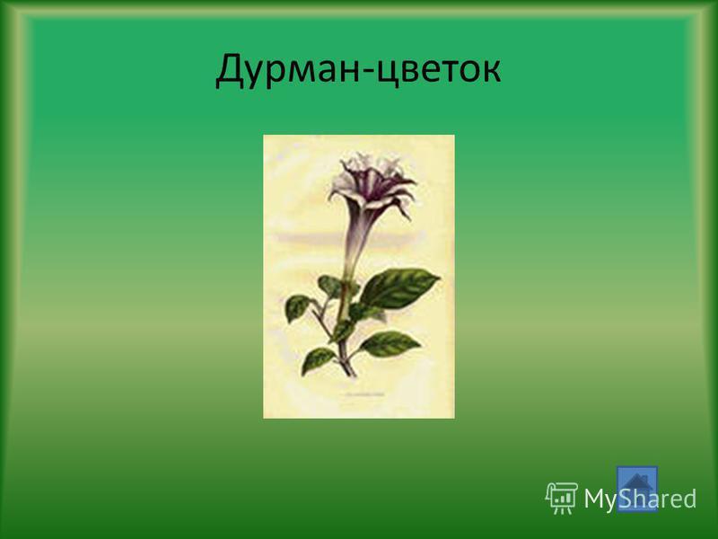 Дурман-цветок
