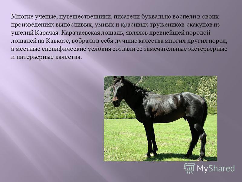 Многие ученые, путешественники, писатели бук  вально воспели в своих произведениях выносливых, умных и красивых тружеников - скакунов из ущелий Карачая. Карачаевская лошадь, являясь древнейшей породой лошадей на Кавказе, вобрала в себя луч  шие кач