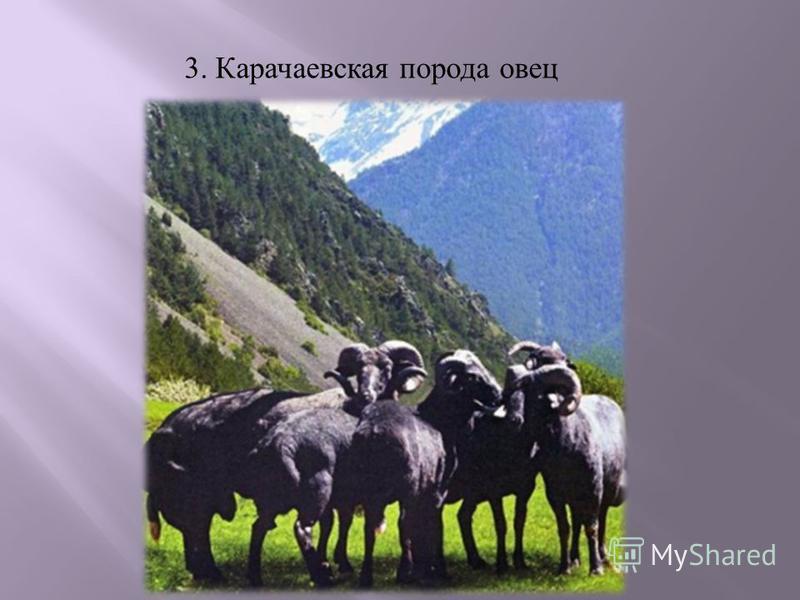 3. Карачаевская порода овец