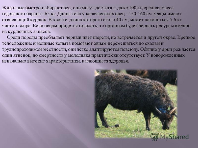Животные быстро набирают вес, они могут достигать даже 100 кг, средняя масса годовалого барана - 65 кг. Длина тела у карачаевских овец - 150-160 см. Овцы имеют отвисающий курдюк. В хвосте, длина которого около 40 см, может накопиться 5-6 кг чистого ж