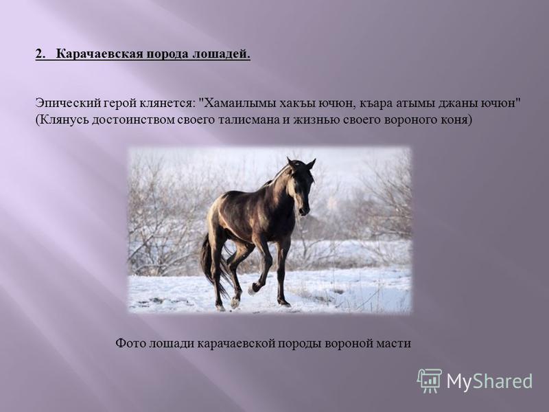 Фото лошади карачаевской породы вороной масти