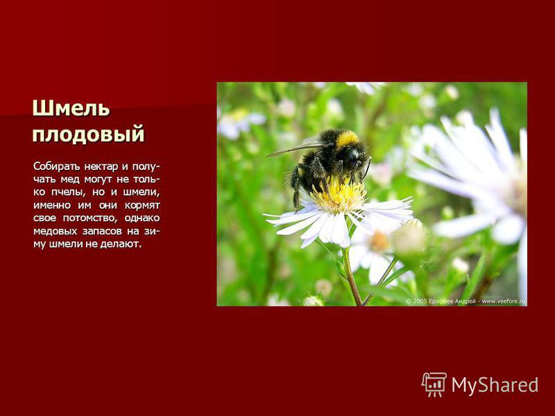 Шмель плодовый Собирать нектар и полу- чать мед могут не толь- ко пчелы, но и шмели, именно им они кормят свое потомство, однако медовых запасов на зиму шмели не делают.