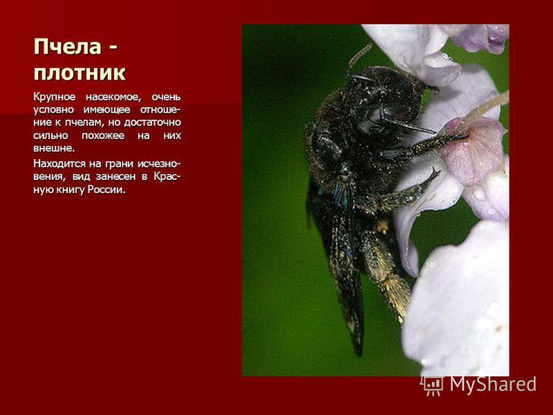 Пчела - плотник Крупное насекомое, очень условно имеющее отношение к пчелам, но достаточно сильно похожее на них внешне. Находится на грани исчезновения, вид занесен в Крас- ную книгу России.