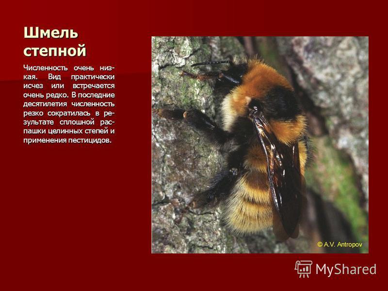 Шмель степной Численность очень низ- кая. Вид практически исчез или встречается очень редко. В последние десятилетия численность резко сократилась в результате сплошной рас- пашки целинных степей и применения пестицидов.