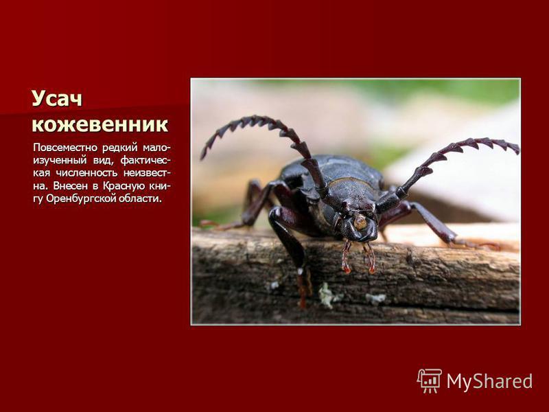 Усач кожевенник Повсеместно редкий мало- изученный вид, фактическая численность неизвестна. Внесен в Красную книгу Оренбургской области.