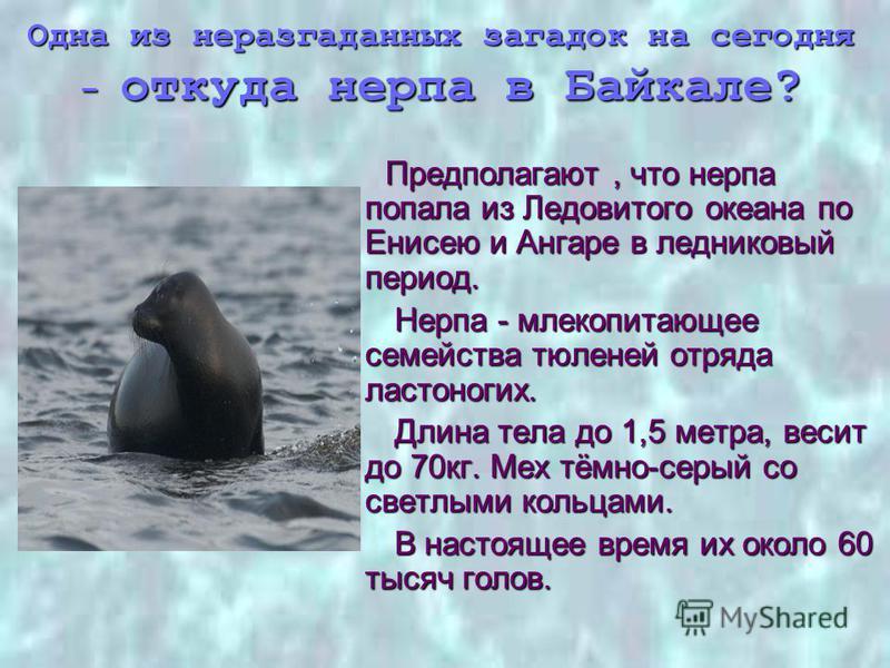 Одна из неразгаданных загадок на сегодня - откуда нерпа в Байкале? Предполагают, что нерпа попала из Ледовитого океана по Енисею и Ангаре в ледниковый период. Предполагают, что нерпа попала из Ледовитого океана по Енисею и Ангаре в ледниковый период.