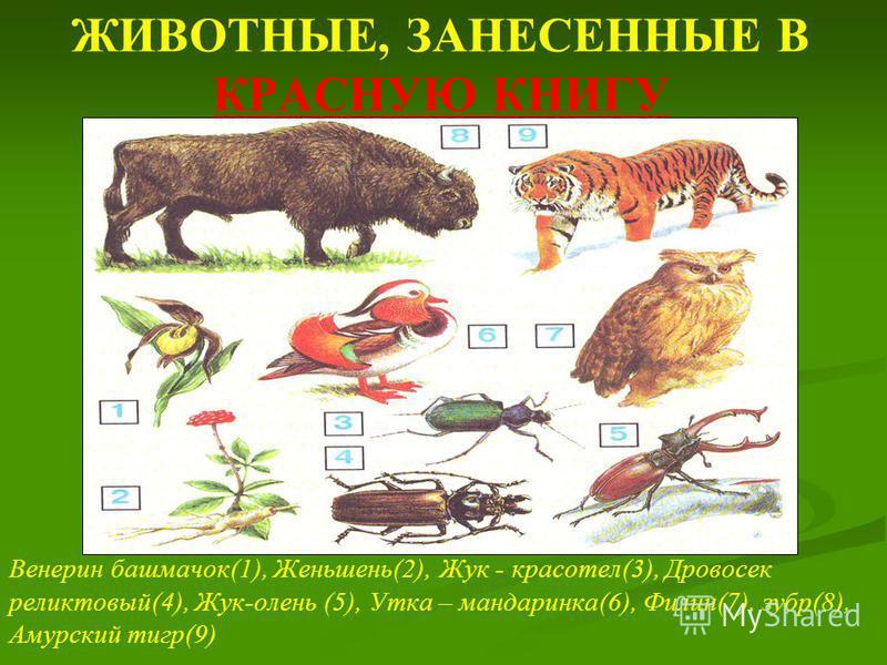ЖИВОТНЫЕ, ЗАНЕСЕННЫЕ В КРАСНУЮ КНИГУ Венерин башмачок(1), Женьшень(2), Жук - красотел(3), Дровосек реликтовый(4), Жук-олень (5), Утка – мандаринка(6), Филин(7), зубр(8), Амурский тигр(9)