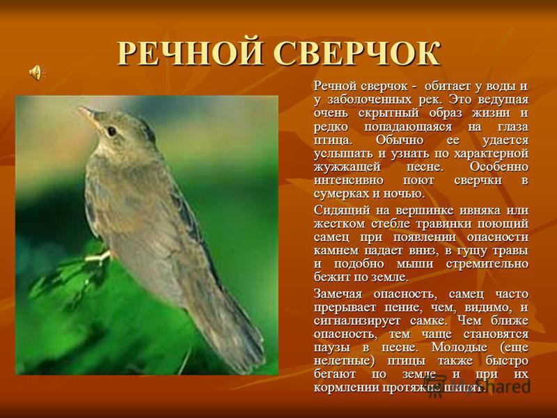 РЕЧНОЙ СВЕРЧОК Речной сверчок - обитает у воды и у заболоченных рек. Это ведущая очень скрытный образ жизни и редко попадающаяся на глаза птица. Обычно ее удается услышать и узнать по характерной жужжащей песне. Особенно интенсивно поют сверчки в сум