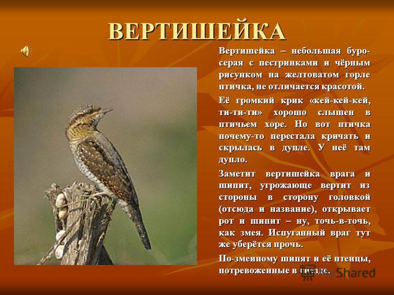 ВЕРТИШЕЙКА Вертишейка – небольшая буро- серая с пестрянками и чёрным рисунком на желтоватом горле птичка, не отличается красотой. Её громкий крик «кей-кей-кей, ти-ти-ти» хорошо слышен в птичьем хоре. Но вот птичка почему-то перестала кричать и скрыла