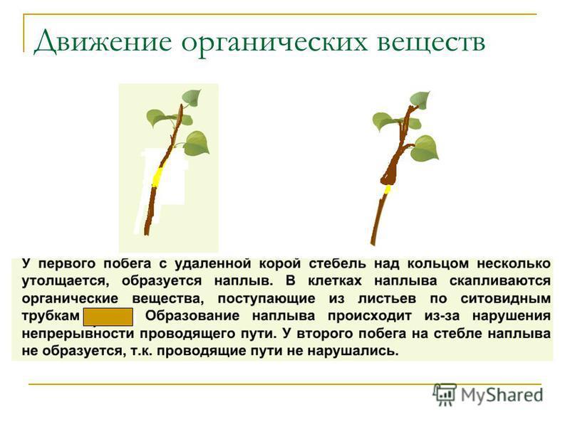 Движение органических веществ луба