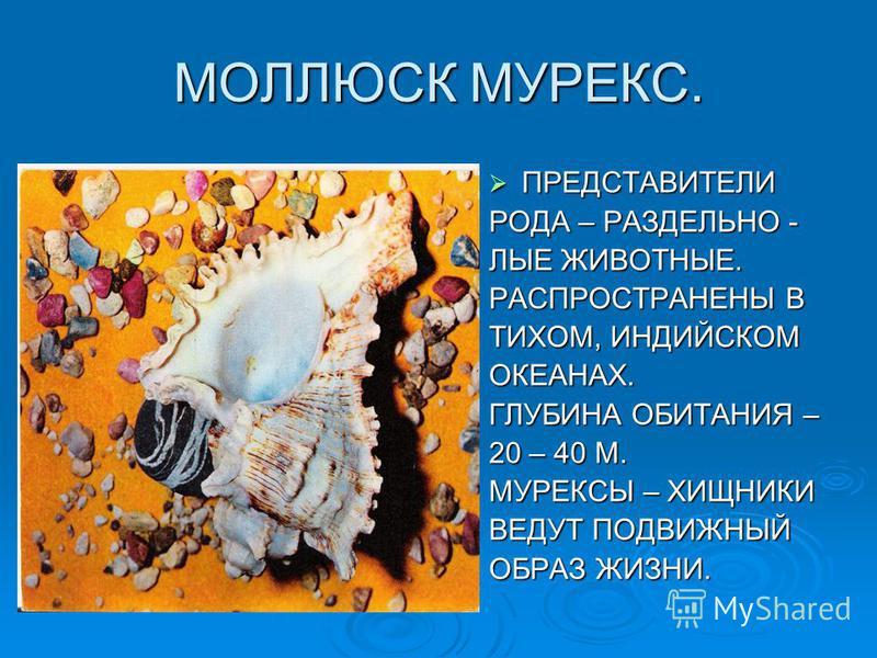 МОЛЛЮСК МУРЕКС. ПРЕДСТАВИТЕЛИ ПРЕДСТАВИТЕЛИ РОДА – РАЗДЕЛЬНО - ЛЫЕ ЖИВОТНЫЕ. РАСПРОСТРАНЕНЫ В ТИХОМ, ИНДИЙСКОМ ОКЕАНАХ. ГЛУБИНА ОБИТАНИЯ – 20 – 40 М. МУРЕКСЫ – ХИЩНИКИ ВЕДУТ ПОДВИЖНЫЙ ОБРАЗ ЖИЗНИ.