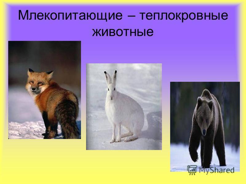 Млекопитдающие – теплокровные животные