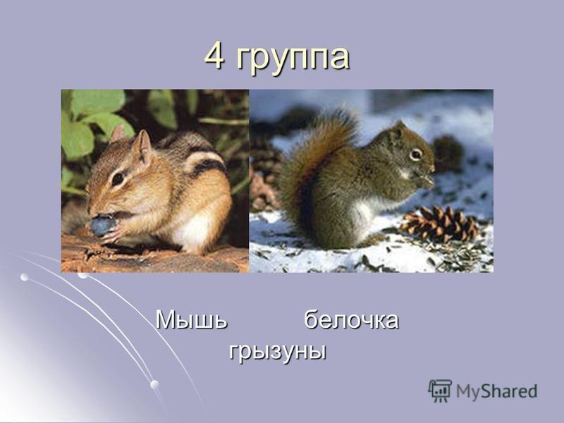 4 группа Мышь белочка грызуны