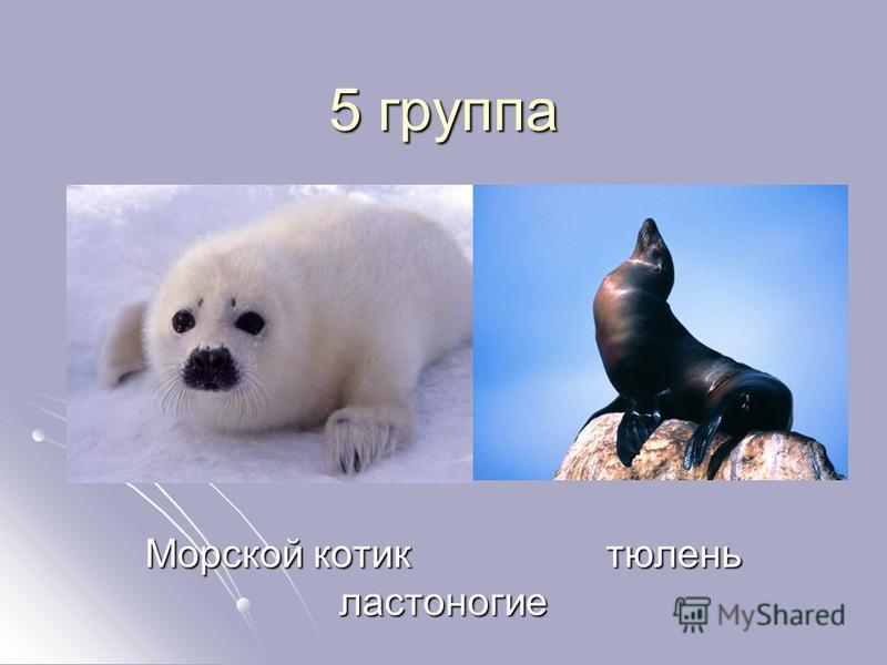 5 группа Морской котик тюлень ластоногие