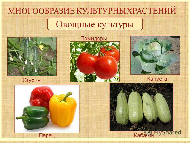 МНОГООБРАЗИЕ КУЛЬТУРНЫХРАСТЕНИЙ Овощные культуры Огурцы Капуста Помидоры Кабачки Перец