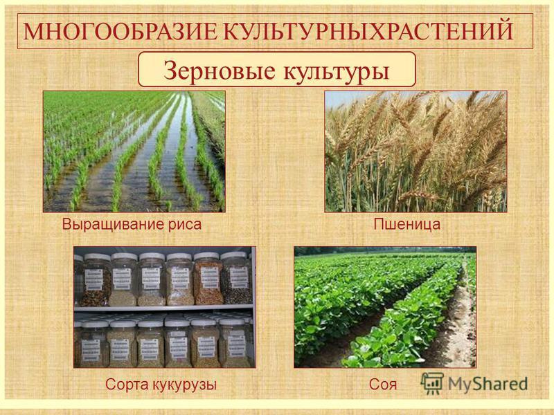 МНОГООБРАЗИЕ КУЛЬТУРНЫХРАСТЕНИЙ Зерновые культуры Выращивание риса Пшеница Соя Сорта кукурузы