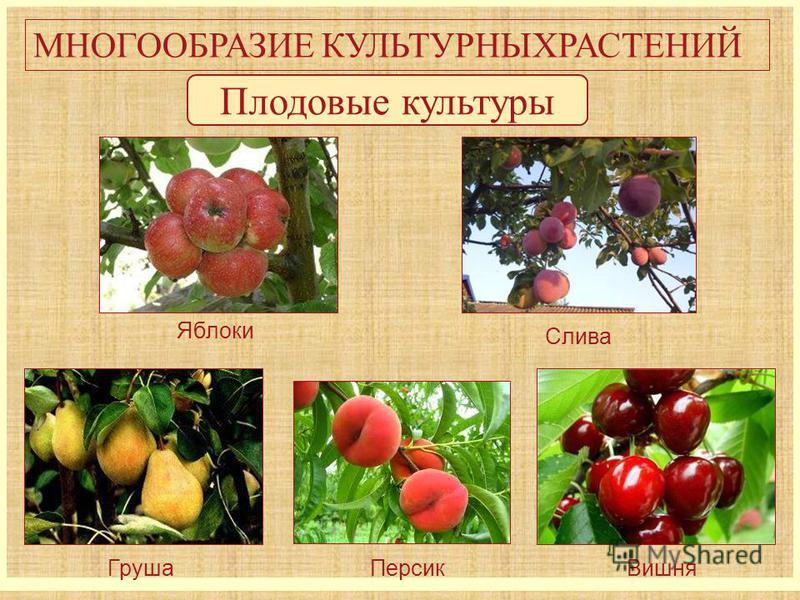 МНОГООБРАЗИЕ КУЛЬТУРНЫХРАСТЕНИЙ Плодовые культуры Яблоки Слива Груша ПерсикВишня