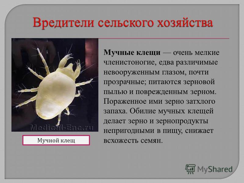 Мучной клещ Мучные клещи очень мелкие членистоногие, едва различимые невооруженным глазом, почти прозрачные; питаются зерновой пылью и поврежденным зерном. Пораженное ими зерно затхлого запаха. Обилие мучных клещей делает зерно и зернопродукты неприг