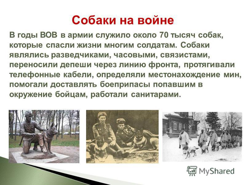 Собаки на войне В годы ВОВ в армии служило около 70 тысяч собак, которые спасли жизни многим солдатам. Собаки являлись разведчиками, часовыми, связистами, переносили депеши через линию фронта, протягивали телефонные кабели, определяли местонахождение