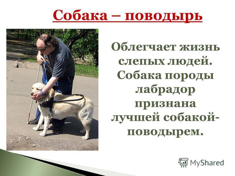 Собака – поводырь Облегчает жизнь слепых людей. Собака породы лабрадор признана лучшей собакой- поводырем.
