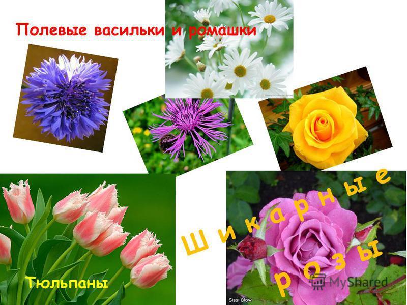 р о з ы Ш и к а р н ы е Полевые васильки и ромашки Тюльпаны