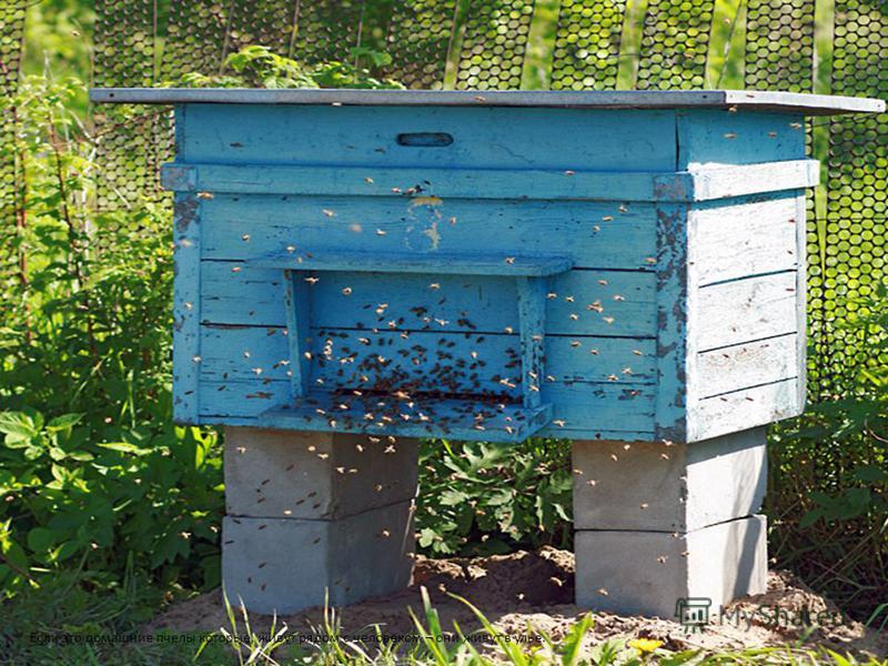Если это домашние пчелы которые, живут рядом с человеком – они живут в улье.
