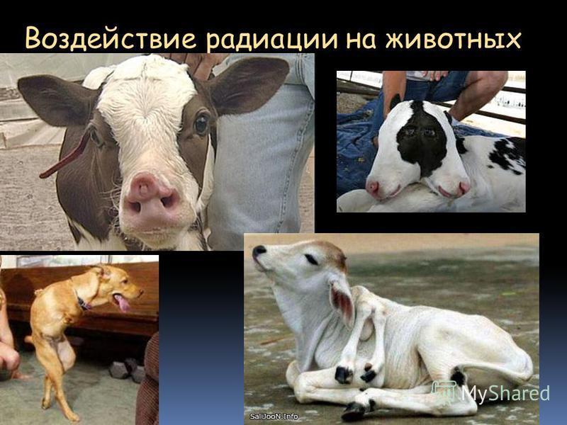 Воздействие радиации на животных