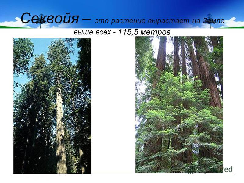 Секвойя – это растение вырастает на Земле выше всех - 115,5 метров
