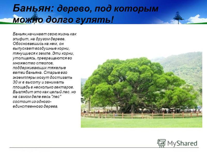 Баньян: дерево, под которым можно долго гулять! Баньян,начинает свою жизнь как эпифит, на другом дереве. Обосновавшись на нем, он выпускает воздушные корни, тянущиеся к земле. Эти корни, утолщаясь, превращаются во множество стволов, поддерживающих тя