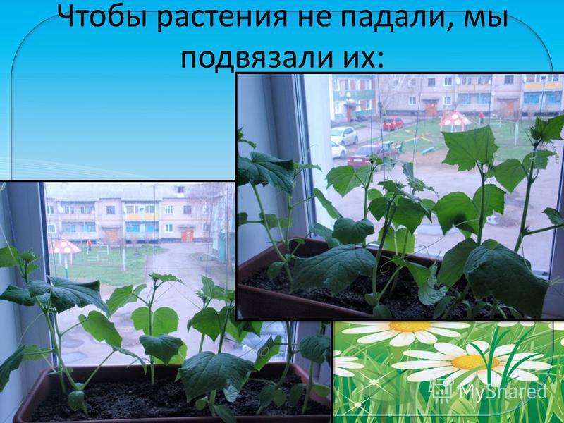 FokinaLida.75@mail.ru Чтобы растения не падали, мы подвязали их: