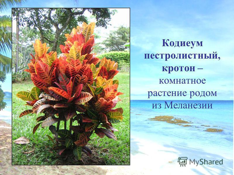 Кодиеум пестролистный, кротон – комнатное растение родом из Меланезии