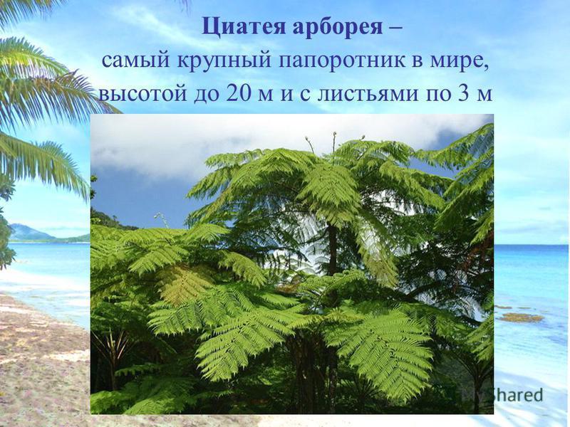 Циатея арборея – самый крупный папоротник в мире, высотой до 20 м и с листьями по 3 м