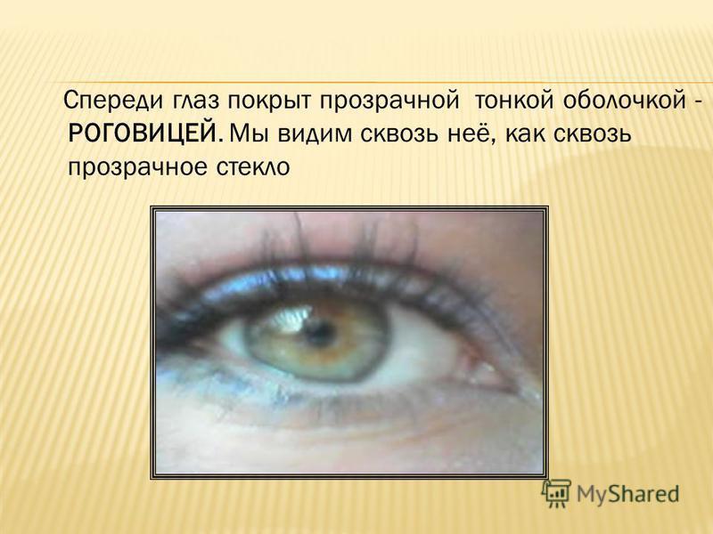 Спереди глаз покрыт прозрачной тонкой оболочкой - РОГОВИЦЕЙ. Мы видим сквозь неё, как сквозь прозрачное стекло