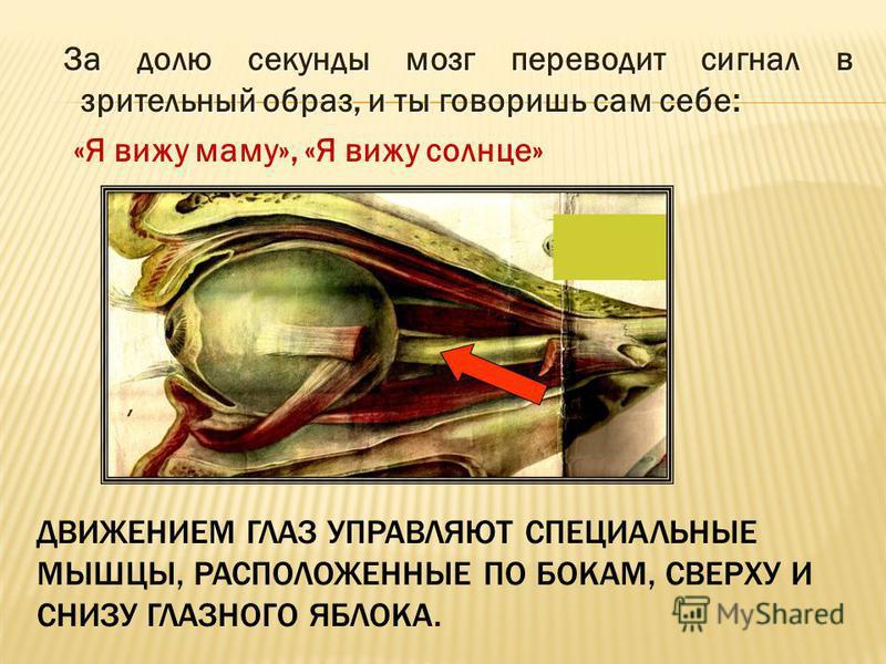 ДВИЖЕНИЕМ ГЛАЗ УПРАВЛЯЮТ СПЕЦИАЛЬНЫЕ МЫШЦЫ, РАСПОЛОЖЕННЫЕ ПО БОКАМ, СВЕРХУ И СНИЗУ ГЛАЗНОГО ЯБЛОКА. За долю секунды мозг переводит сигнал в зрительный образ, и ты говоришь сам себе: За долю секунды мозг переводит сигнал в зрительный образ, и ты говор