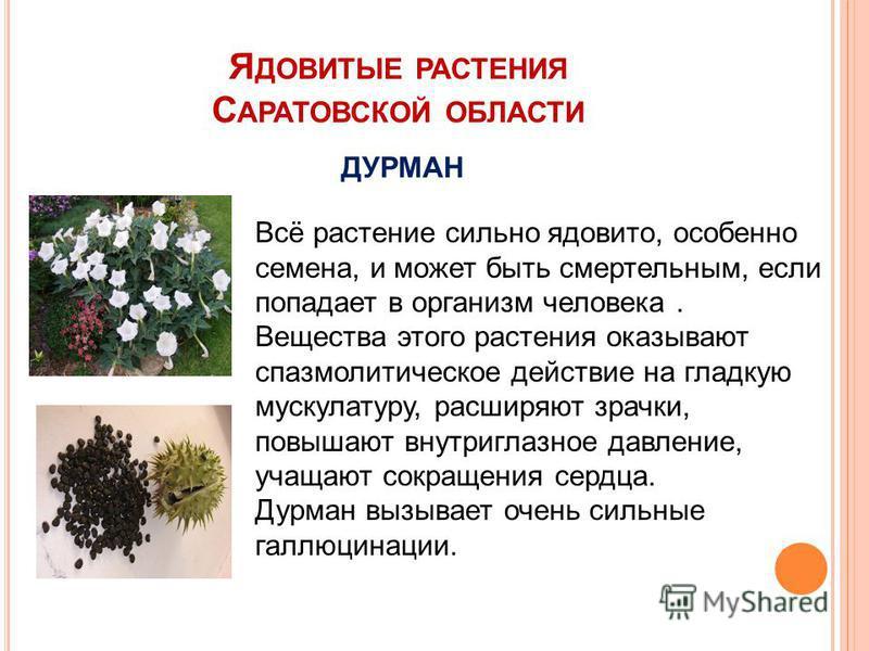 Я ДОВИТЫЕ РАСТЕНИЯ С АРАТОВСКОЙ ОБЛАСТИ ДУРМАН Всё растение сильно ядовито, особенно семена, и может быть смертельным, если попадает в организм человека. Вещества этого растения оказывают спазмолитическое действие на гладкую мускулатуру, расширяют зр