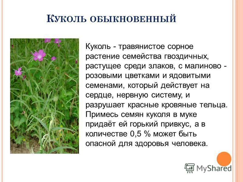 К УКОЛЬ ОБЫКНОВЕННЫЙ Куколь - травянистое сорное растение семейства гвоздичных, растущее среди злаков, с малиново - розовыми цветками и ядовитыми семенами, который действует на сердце, нервную систему, и разрушает красные кровяные тельца. Примесь сем