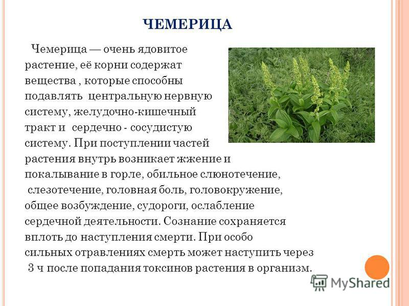 ЧЕМЕРИЦА Чемерица очень ядовитое растение, её корни содержат вещества, которые способны подавлять центральную нервную систему, желудочно-кишечный тракт и сердечно - сосудистую систему. При поступлении частей растения внутрь возникает жжение и покалыв