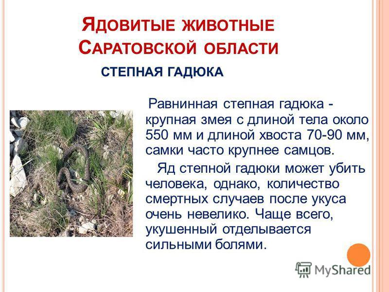 Я ДОВИТЫЕ ЖИВОТНЫЕ С АРАТОВСКОЙ ОБЛАСТИ Равнинная степная гадюка - крупная змея с длиной тела около 550 мм и длиной хвоста 70-90 мм, самки часто крупнее самцов. Яд степной гадюки может убить человека, однако, количество смертных случаев после укуса о