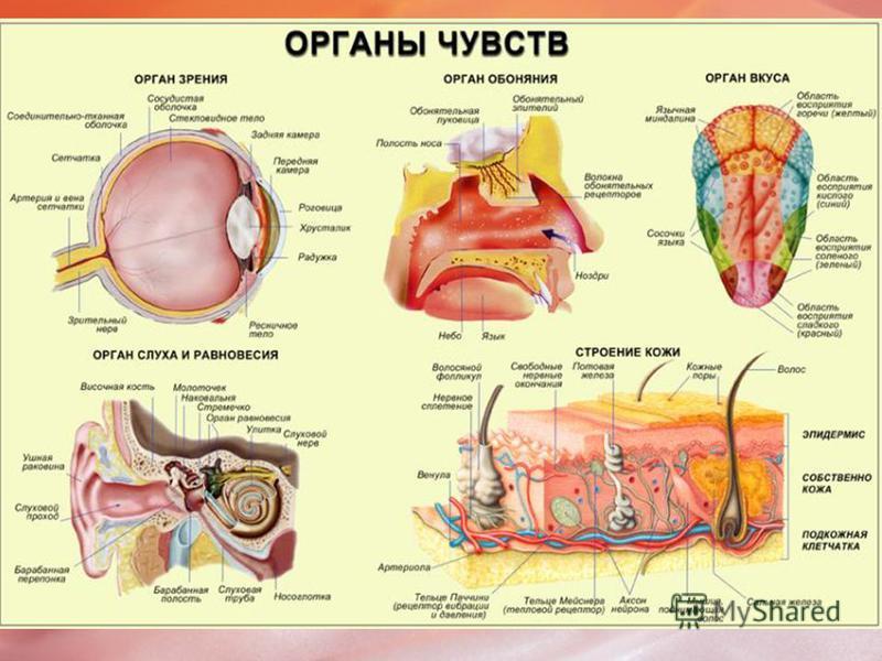 Таблица Чувство Орган чувства Анализатор Слух Ухо Орган слуха-слуховой нерв- зона коры больших полушарий