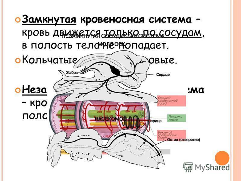 Замкнутая кровеносная система – кровь движется только по сосудам, в полость тела не попадает. Кольчатые черви и хордовые. Незамкнутая кровеносная система – кровь из сосудов поступает в полость тела