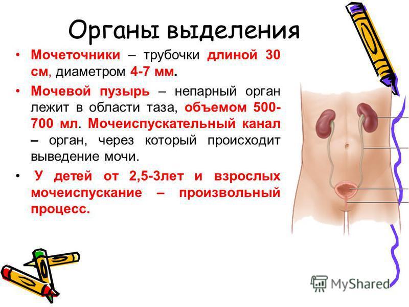 Органы выделения Мочеточники – трубочки длиной 30 см, диаметром 4-7 мм. Мочевой пузырь – непарный орган лежит в области таза, объемом 500- 700 мл. Мочеиспускательный канал – орган, через который происходит выведение мочи. У детей от 2,5-3 лет и взрос