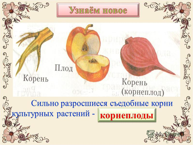 Сильно разросшиеся съедобные корни культурных растений - корнеплоды