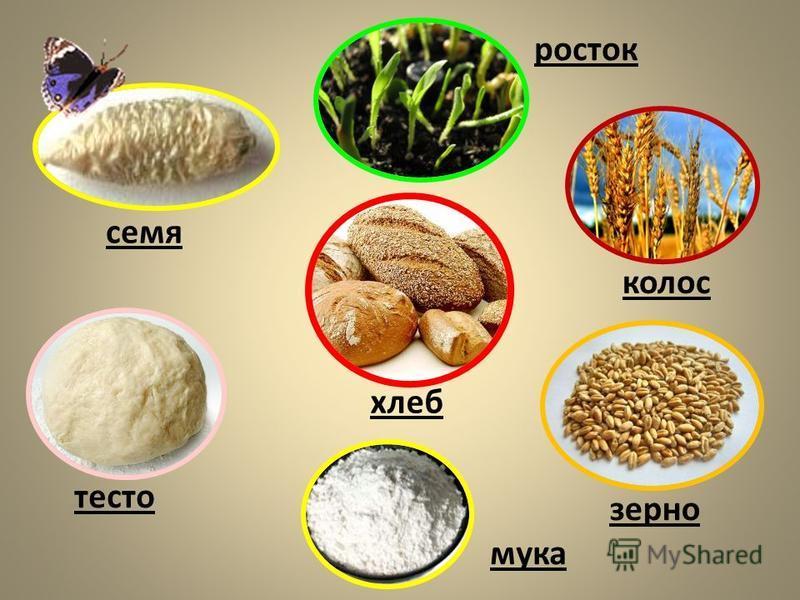 росток семя колос зерно мука тесто хлеб