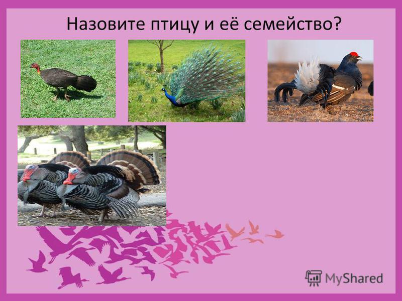 Назовите птицу и её семейство?