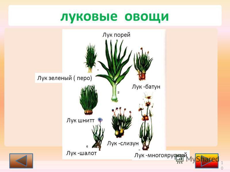 10 Лук зеленый ( перо) Лук порей Лук -батун Лук шнитт Лук -слизун Лук -шалот Лук -многоярусный