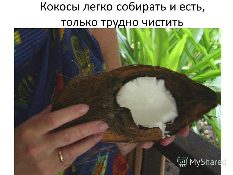 Кокосы легко собирать и есть, только трудно чистить