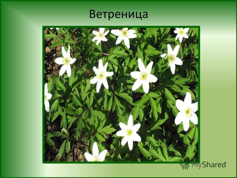 FokinaLida.75@mail.ru Ветреница