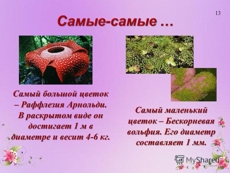 Самый маленький цветок – Бескорневая вольфия. Его диаметр составляет 1 мм. 13