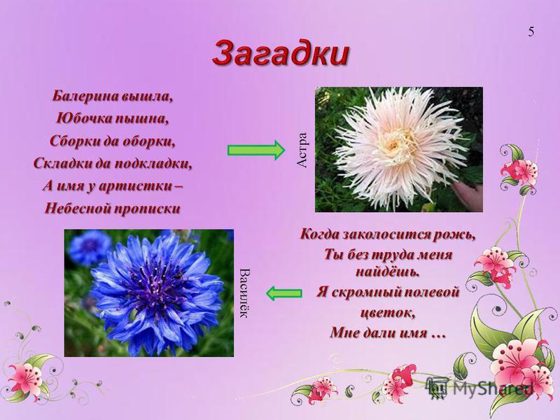 Астра Василёк 5